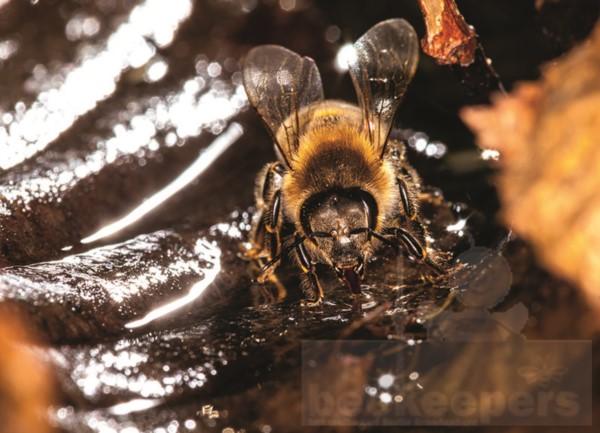 Postkarte Biene beim Wasser holen