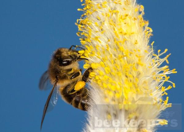 Postkarte Biene an Weidenkätzchen