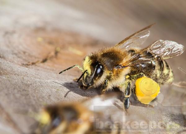 Postkarte Biene mit Pollen